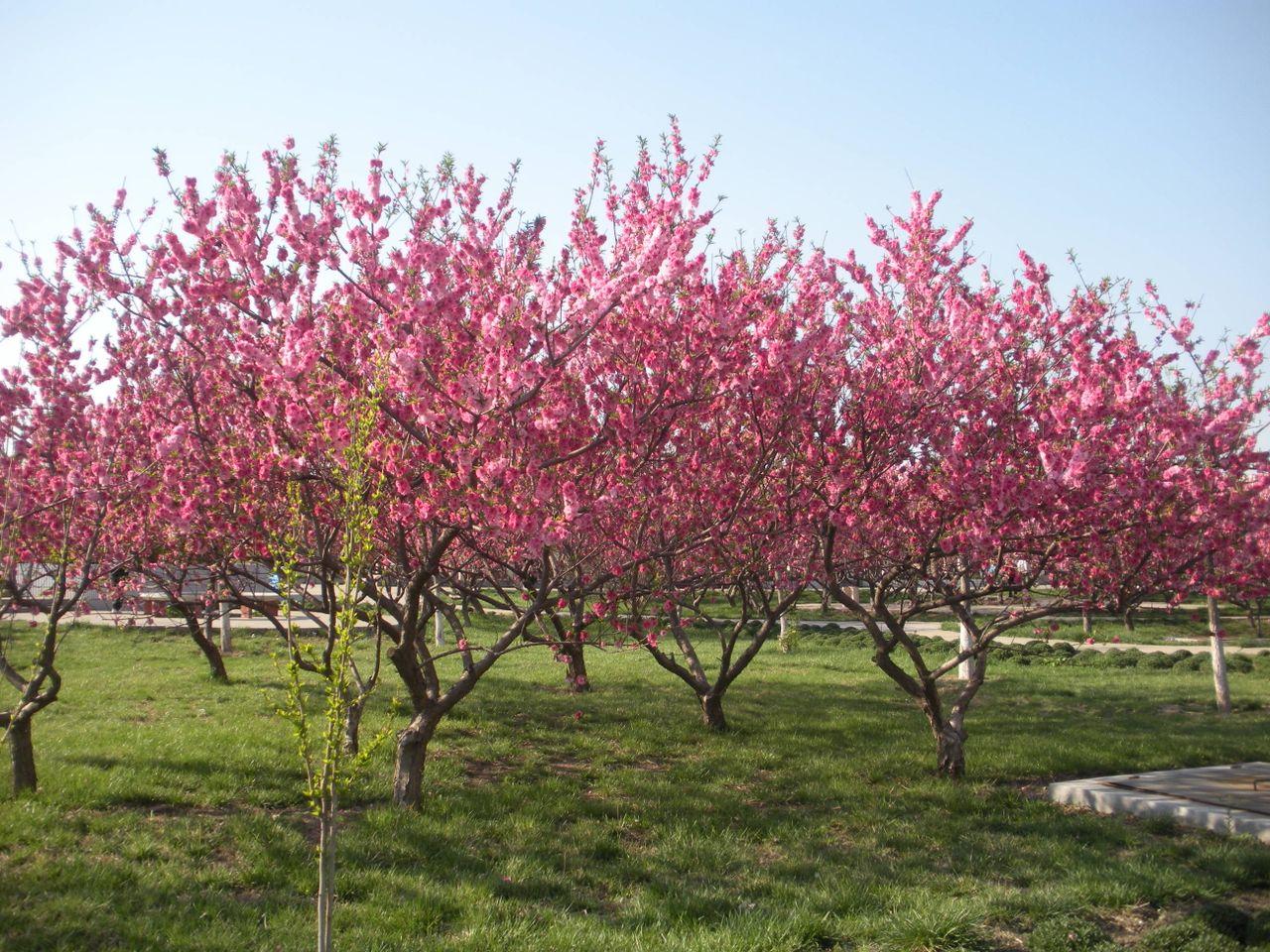 桃树春季施肥就选民强冲施肥